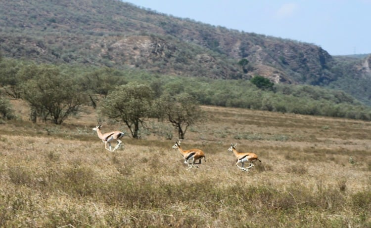 Image of gazelles in the wild