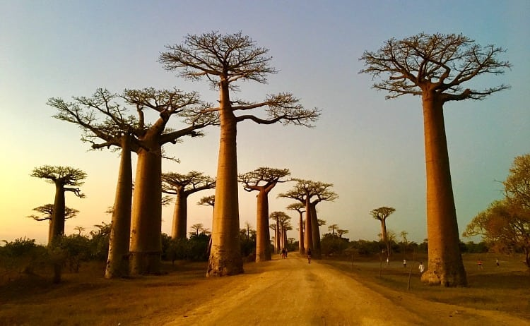 Image of boabab trees at sunset in Madagascar