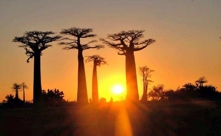 Boabab Avenue & Kirindy Forest // Madagascar