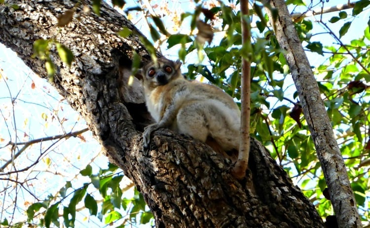 red tailed sportive lemur in kirindy national park