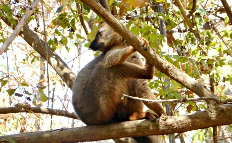 common brown lemur in kirindy national park