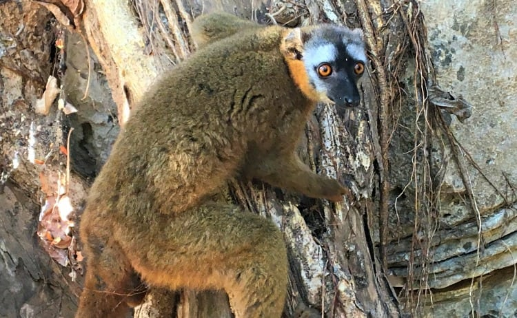 Image of red-fronted lemur in tree on the Tsiribhina River