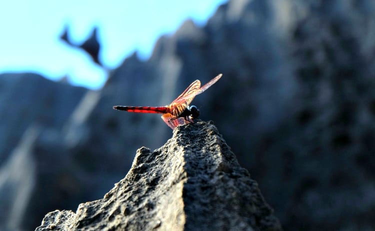 Image of red Madagascar insect on grey rock