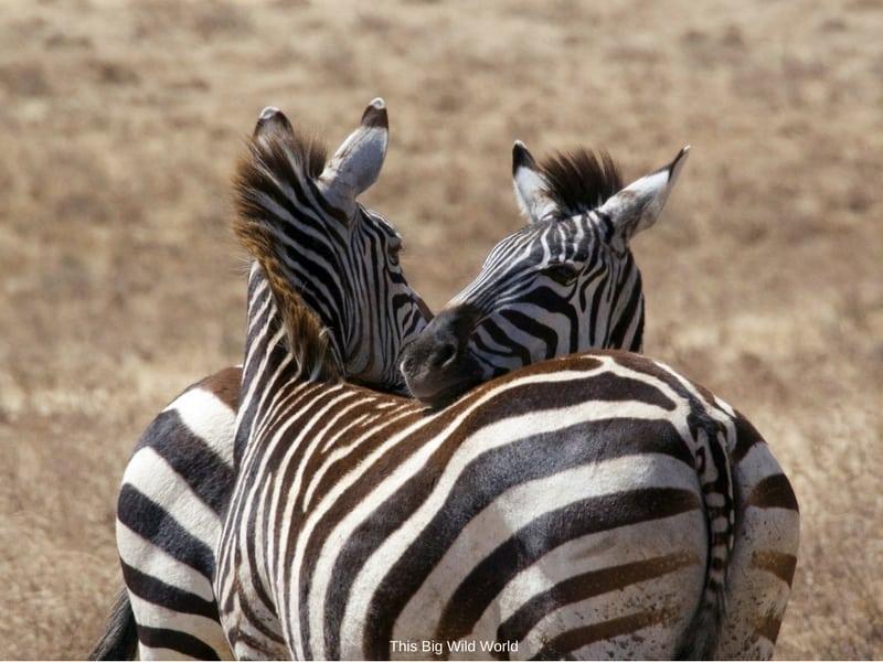 Zebras on safari in Tanzania by This Big Wild World