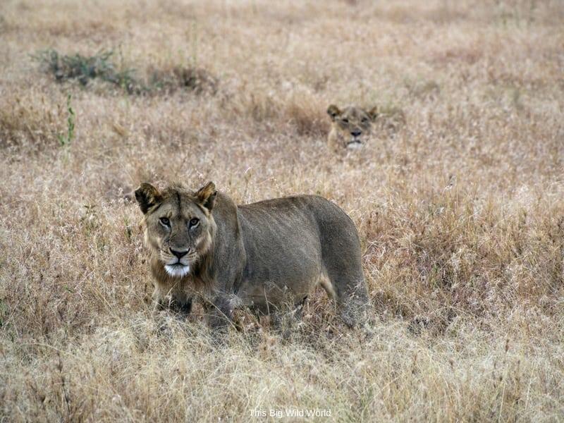 Lioness on safari in Tanzania by This Big Wild World