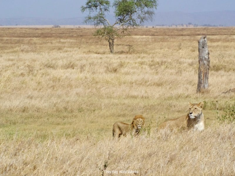 Lion and lioness in Serengetti, Tanzania by This Big Wild World