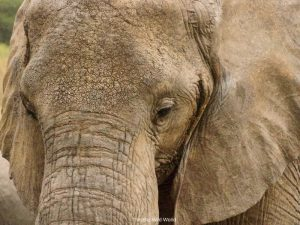 African elephant in Serengetti, Tanzania by This Big Wild World