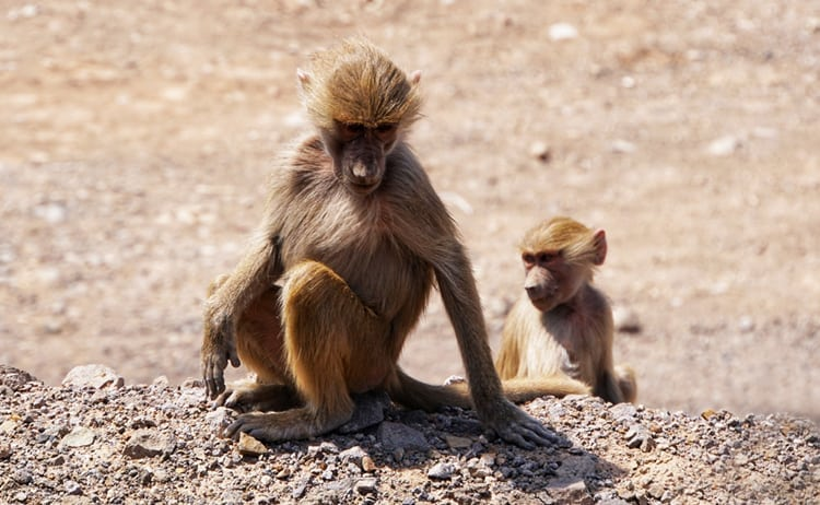 Baboons in Djibouti, Africa