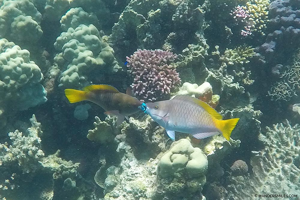 Reef fish in Gulf of Tadjoura in Djibouti