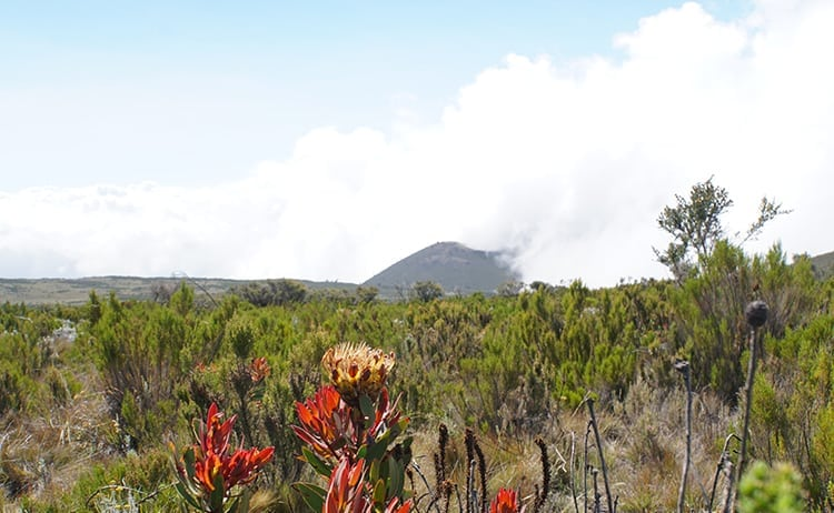 Day 5 on the Kilimanjaro trek. Protea Kilimandscharica, flora endemic to Kilimanjaro.