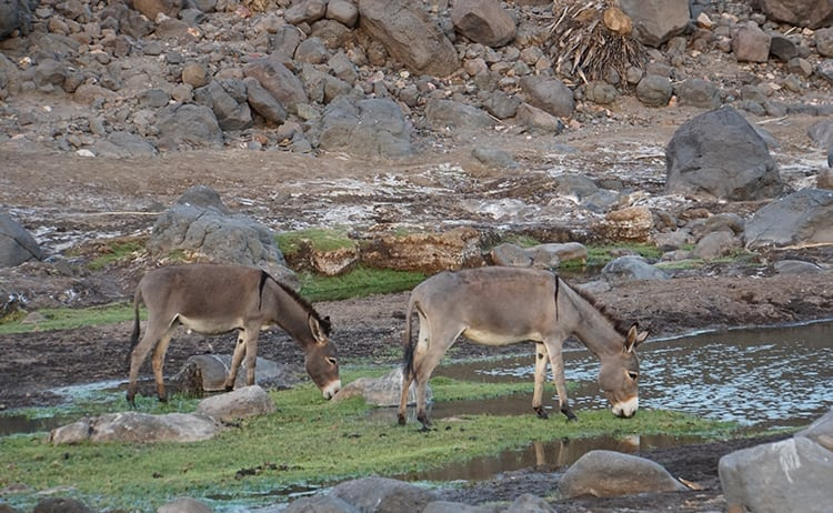 Wild donkeys by Wadi Abbe Bad in Djibouti, East Africa