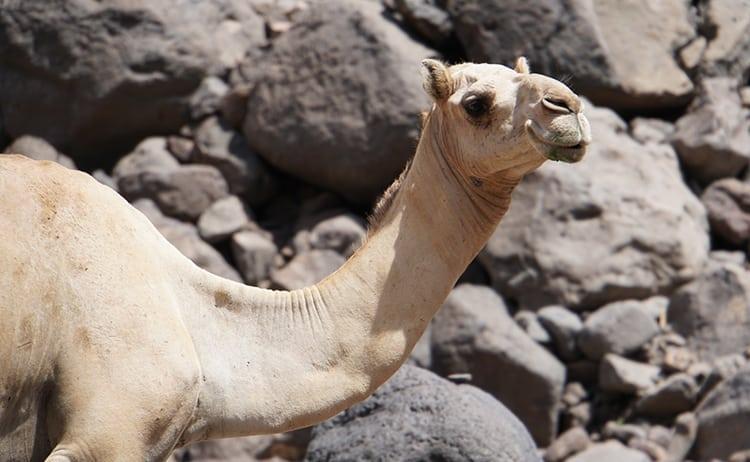 Camel at volcanic Danakil Desert in Djibouti, East Africa