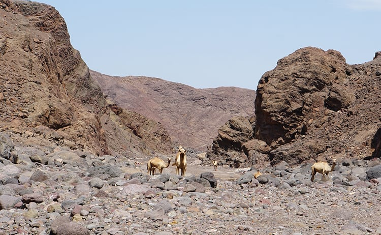 Camels at volcanic Danakil Desert in Djibouti, East Africa