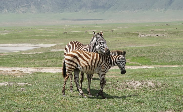 Zebras intertwined on safari at Ngorongoro Crater, Tanzania