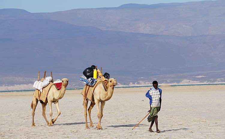 Camels walking across the salt plains of Lake Assal in Djibouti, East Africa