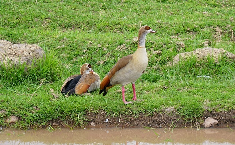 Egyptian Geese at Ngorongoro Crater, Tanzania