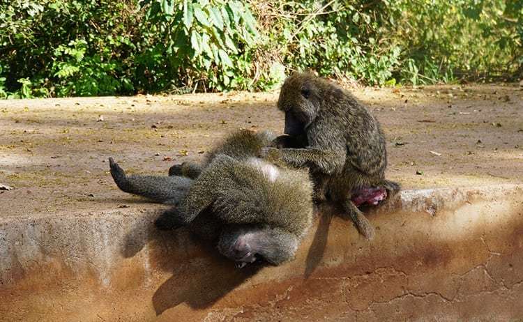 Vervet monkeys grooming each other at Ngorongoro Crater, Tanzania