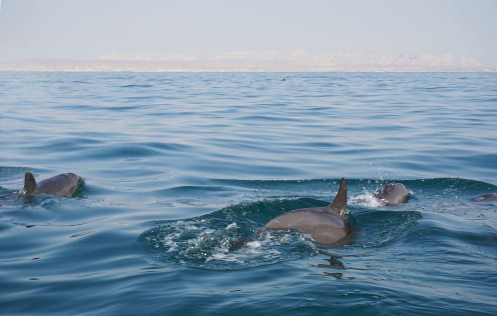 Dolphins swimming by Hengam Island near Qeshm, Iran.