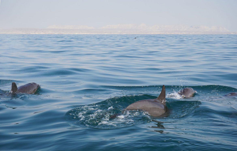 Dolphins swimming by Hengam Island near Qeshm, Iran.