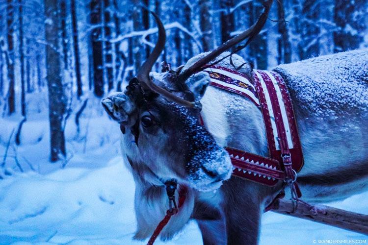 Reindeer in the forest of Rovaniemi in Finalnd