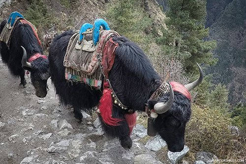Yaks on the Everest Trail to Tengboche