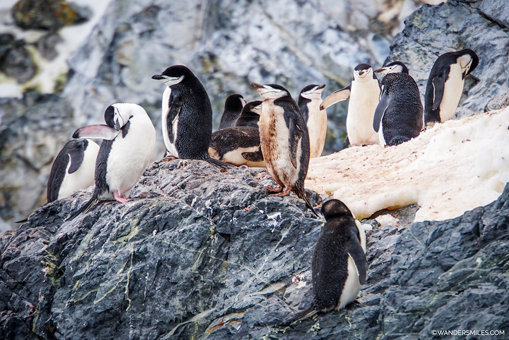 Chinstrap penguins in Orne Harbour