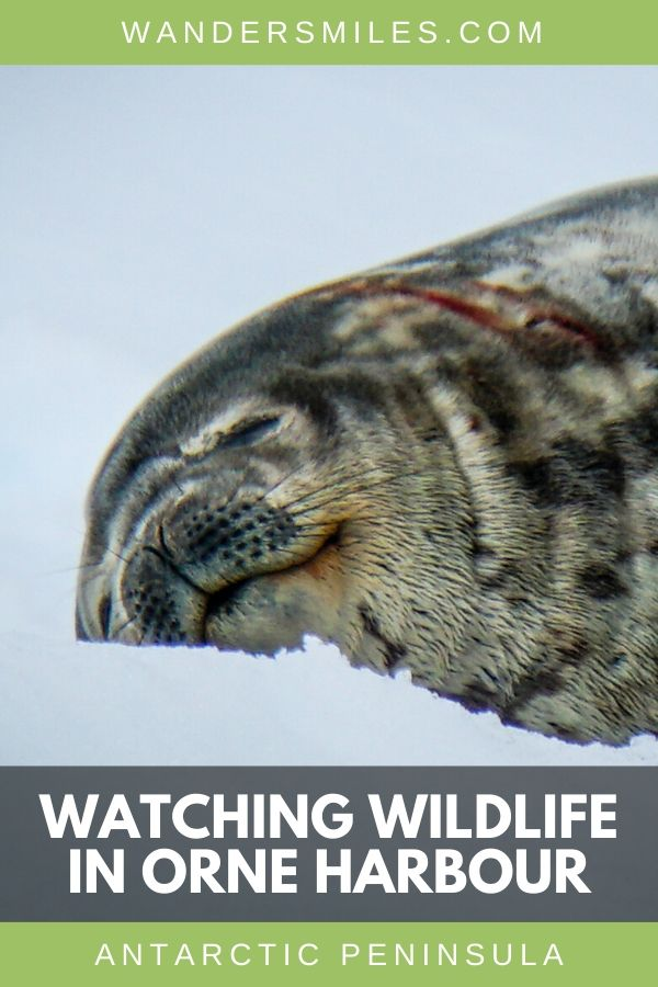 Watching Weddell Seals in Orne Harbour in Antarctic Peninsula