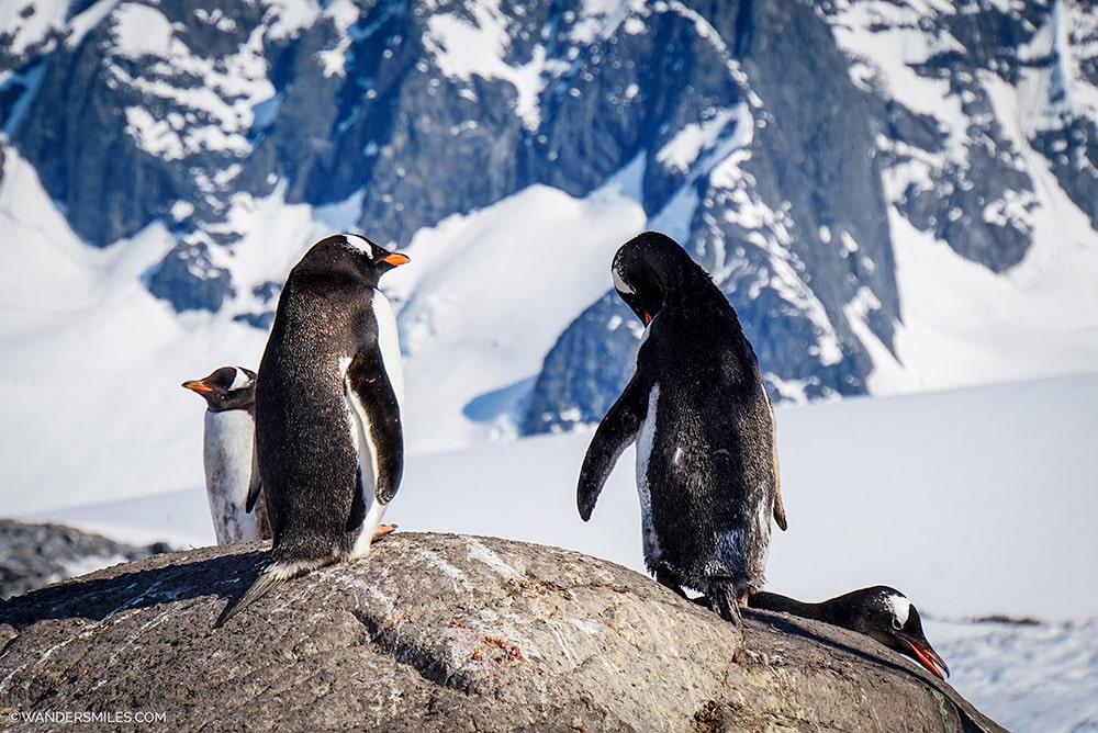 Gentoo Penguins Port Lockroy