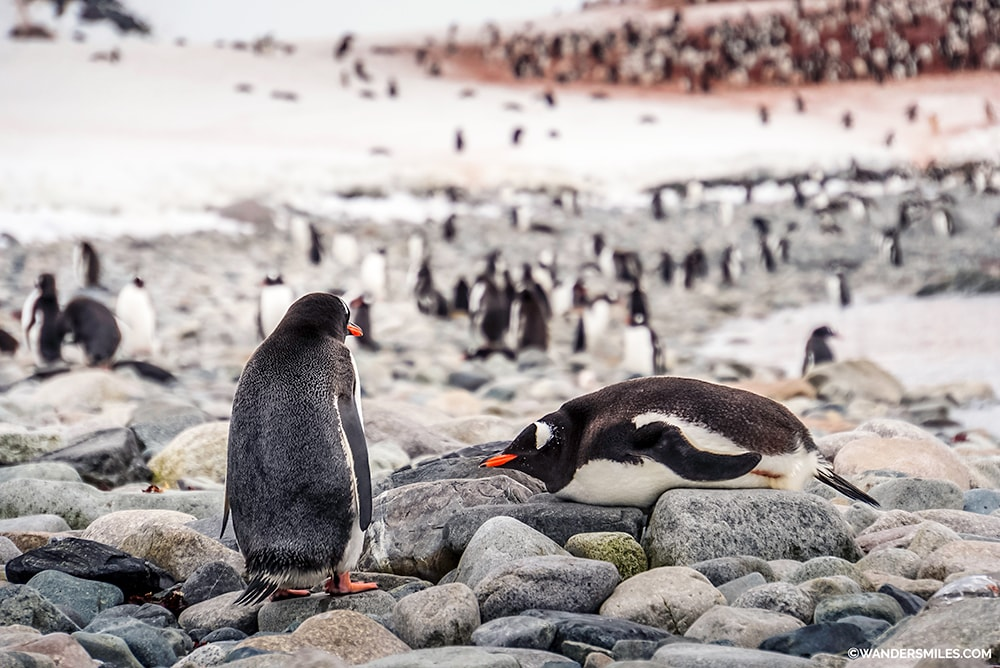 Gentoo Penguins on the beach of Cuverville Island, Antarctic Peninsula