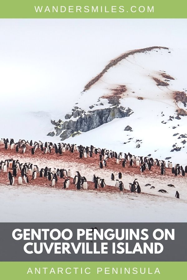 Nesting rookeries of Gentoo Penguins on Cuverville Island in the Errera Channel, Antarctic Peninsula