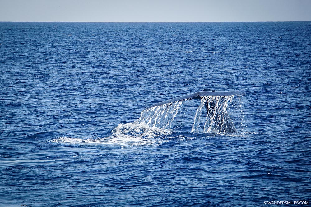 Blue whale's tail in the air before it descends into the ocean off Mirissa in Sri Lanka