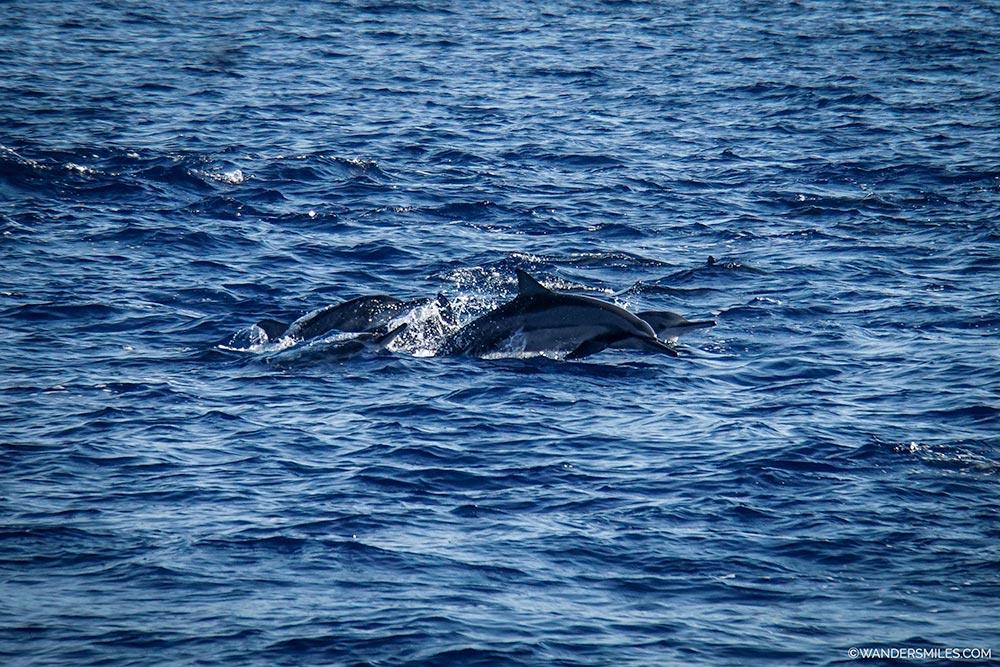 Pod of Spinner Dolphins off the coast of Mirissa in Sri Lanka