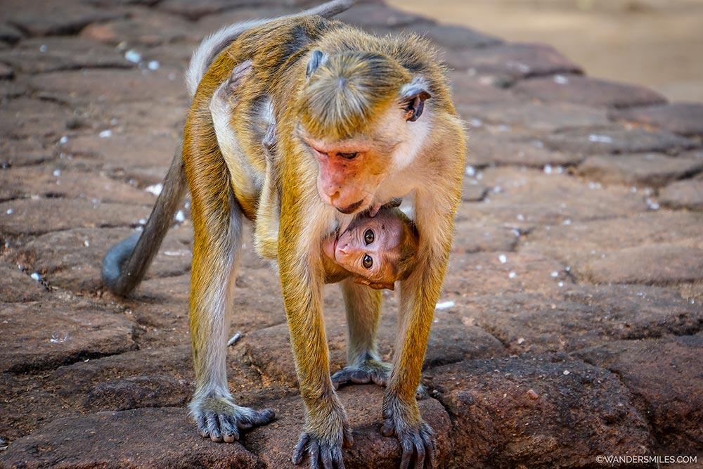 Monkeys at Sigiriya Rock in Sri Lanka
