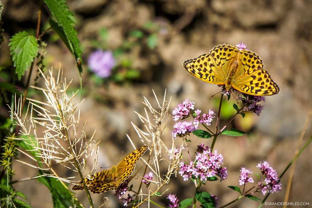 Orange butterflies near Lake Kaindy in Kazakhstan