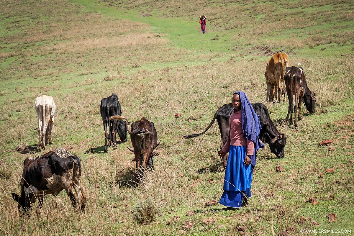 Masai woman with her cows on the plains by the Ngorongoro Crater, Tanzania