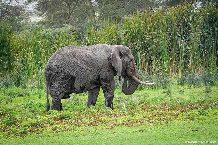 Elephant on safari at Ngorongoro Crater, Tanzania