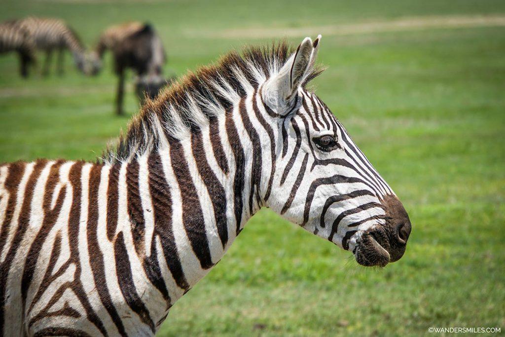 Zebra headshot at Ngorongoro Safari in Tanzania, Africa