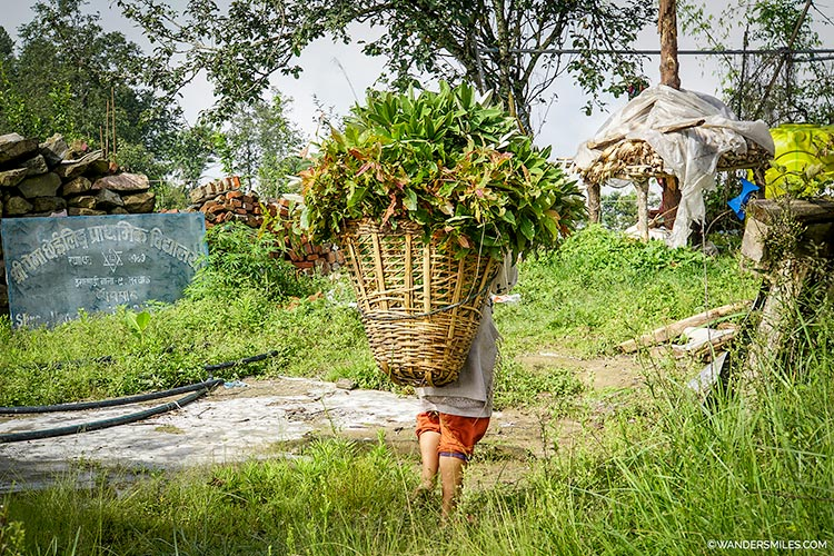 Tamang lady carrying food for her livestock near Dhulikhel, Central Nepal, Kathmandu Valley