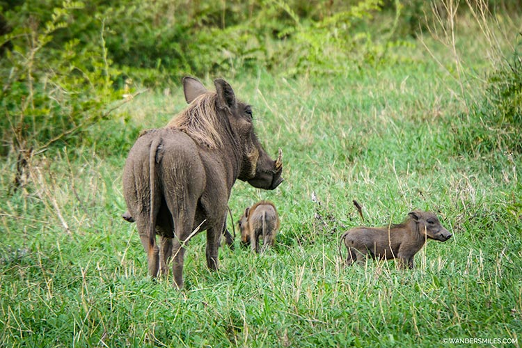 Female warthogs with her two babies at Ngorongoro Crater, Tanzania