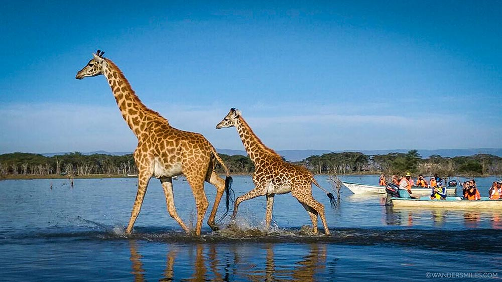 Giraffes on the boat tour of Lake Naivasha in Kenya