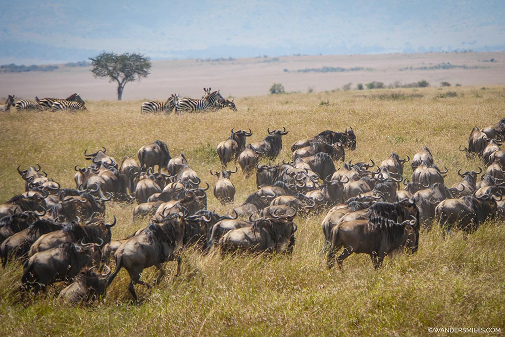 Great Migration of wildebeest in Maasai Mara in Kenya