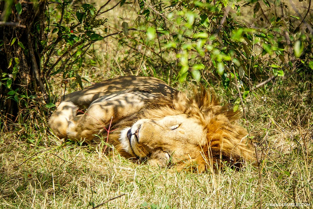 Male lion sleeping at Maasai Mara Game Park