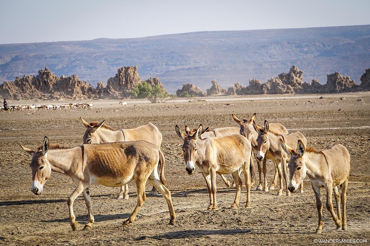 Donkeys by the chimneys of Lake Abbe, Djibouti