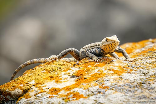 Male Agama lizard in Gobustan National Park in Azerbaijan