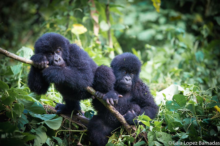 Baby gorillas playing in the mountains of the Congo - Photo by Laia Lopez