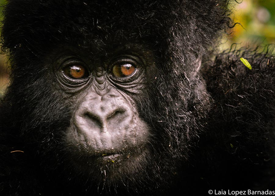 Baby mountain gorillas staring in the jungle of the Congo - Photo by Laia Lopez