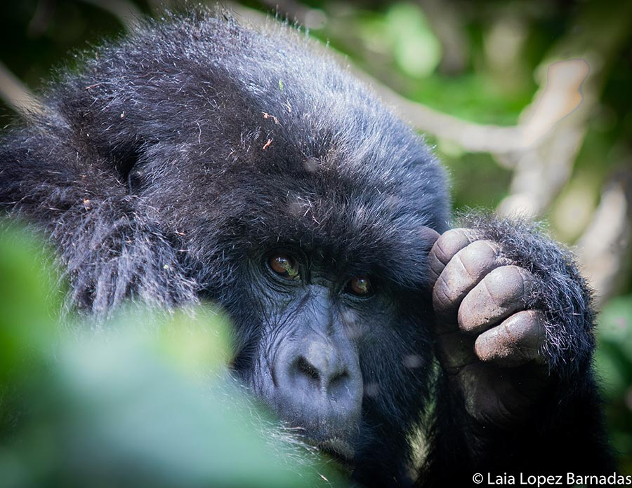 Male mountain gorilla staring in the Congo jungle - Tips on photographing mountain gorillas by Laia Lopez