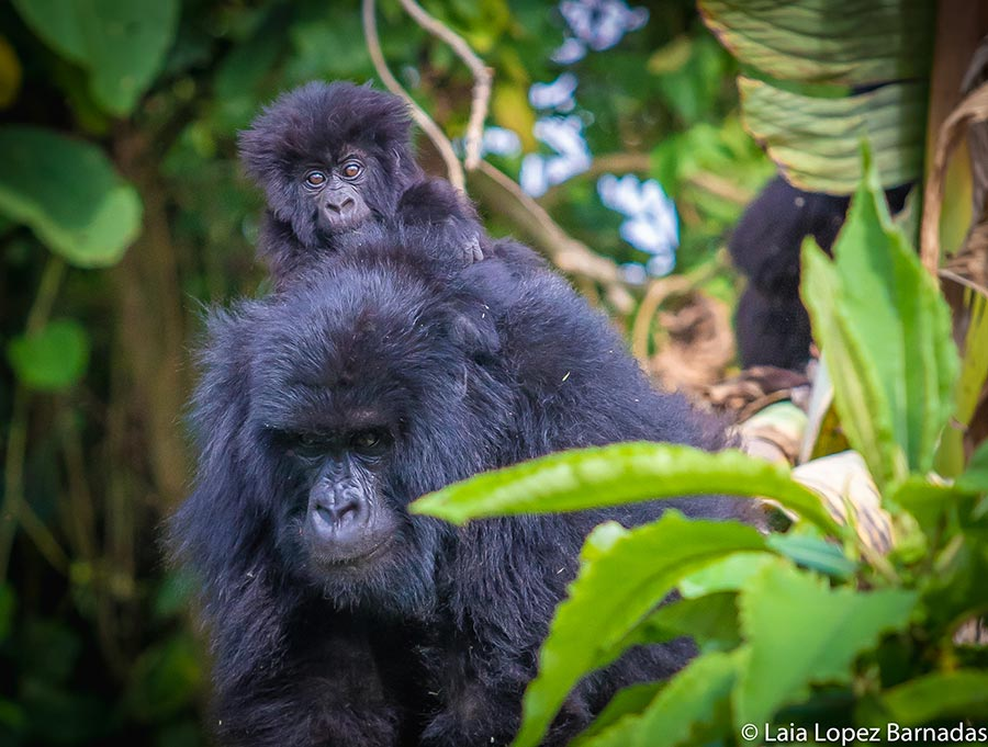 Mother Gorila carrying baby on back in DRC - Photo by Laia Lopez