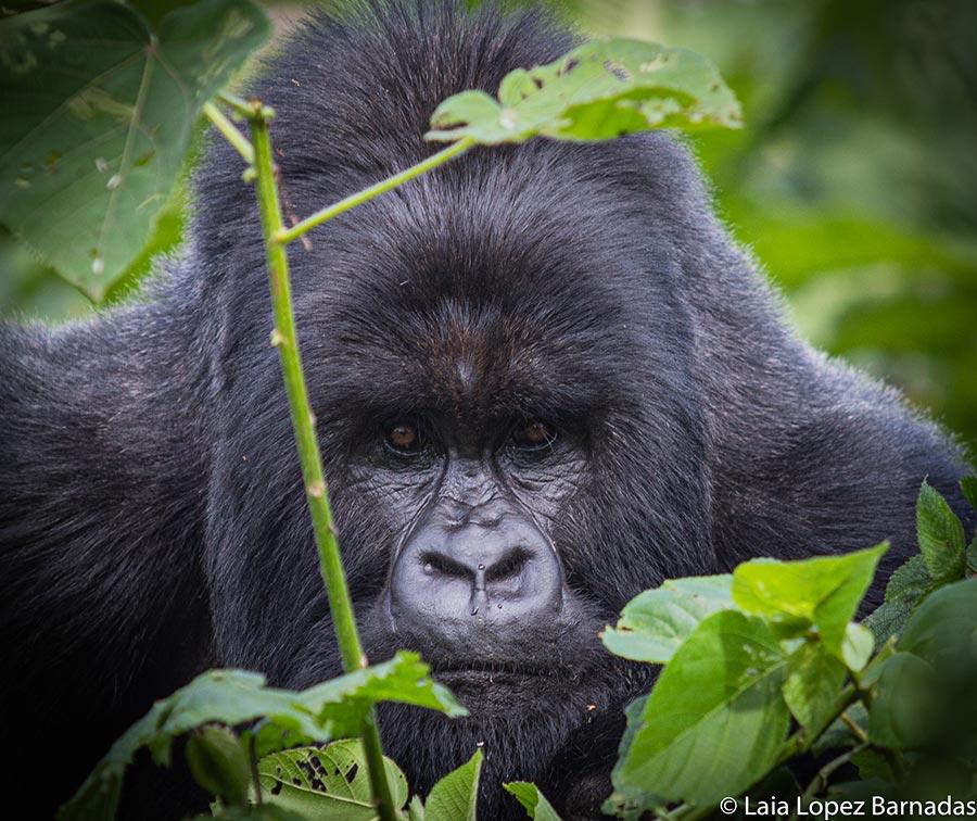 Silverback mountain gorilla in the Congo - Photo by Laia Lopez