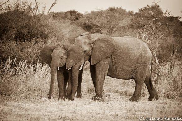 Female elephant with her calf in the Masaai Mara, Kenya